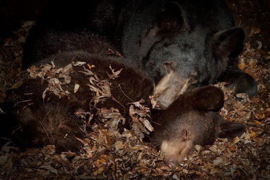 Hibernating Mammals