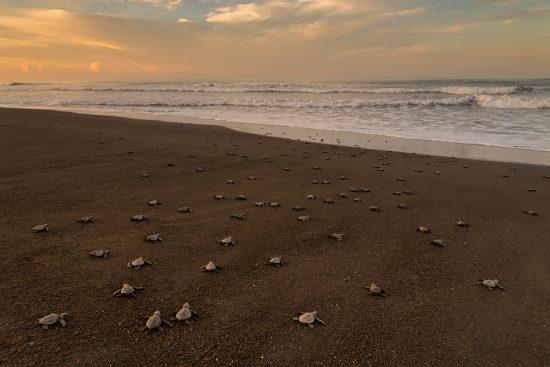 Sea Turtle Arribada